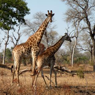 1 adventour_sudafrica_malamala_giraffe_01