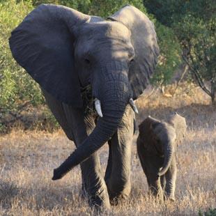 1 adventour_sudafrica_safari_elefante_03