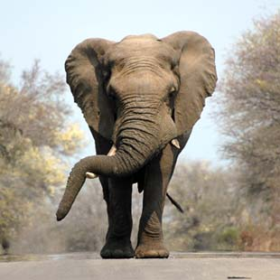 1 adventour_sudafrica_safari_elefante_04